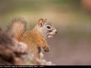 American_Red_Squirrel_9726