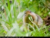 Arctic_Ground_Squirrel_0190