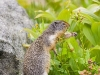 Arctic_Ground_Squirrel_0223