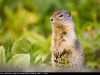 Arctic_Ground_Squirrel_0234