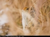 Arctic_Ground_Squirrel_0970