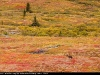 Caribou_fall_colors_3964