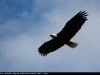 Flying_Bald_Eagle_9830