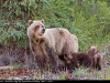Grizzly_cubs_9876