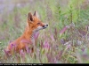 Red_Fox_flowers_0023